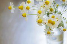 カモミールの香り - 写真共有サイト:PHOTOHITO