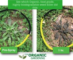 One of the most effective and fastest acting organic weed killers on the market. Garden Bugs, Garden Weeds, Lawn And Garden, Organic Gardening, Gardening Tips, Kill Weeds Naturally, Weed Killer Homemade, Yard Care, Planting Vegetables