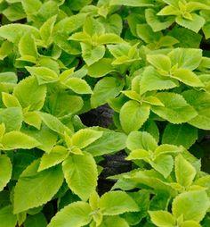 ZA015 Koleus hybridný (africká pŕhľava) ´SUN LIME DELIGHT´   E-shop   LUMIGREEN.sk - Váš obľúbený internetový obchod s rastlinami Limes, Herbs, Herb, Lime, Medicinal Plants
