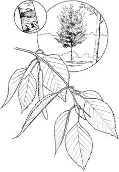 white oak tree coloring page free printable coloring pages oak tree coloring page trees pinterest white oak tree - Birch Tree Branches Coloring Pages
