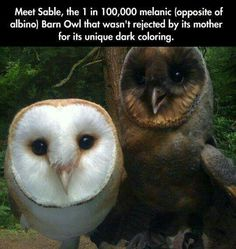 """awwww-cute: """" Meet Sable, the 1 in melanic (oppsite of albino) Barn Owl that wasn't rejected by its mother for its unique dark coloring :) (Source: http:& """" Cute Creatures, Beautiful Creatures, Animals Beautiful, Beautiful Owl, Cute Funny Animals, Cute Baby Animals, Animals And Pets, Animal Facts, Animal Memes"""
