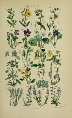Page Of Colour Illustrations From British Wild Flowers After A Work By J. Sowerby And C. Poster Print x Vintage Botanical Prints, Botanical Drawings, Botanical Art, Wildflower Drawing, British Wild Flowers, Flowers London, Plant Illustration, Nature Prints, Vintage Flowers