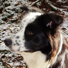 #Finlay #bordercollie #collie #dogs #Hund #dogstagram #dogsofinstagram #dog #bordercolliesofinstagram #borderfame