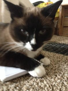 Mitted Seal Point Snowshoe Siamese