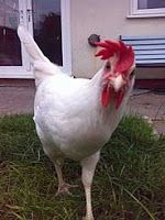 10 Most Famous Egg Laying Breeds of Chicken  Read full > epoultryfarm.com  Follow me for more