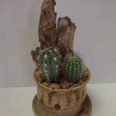 Baby cacti found at Home Depot. Cute!