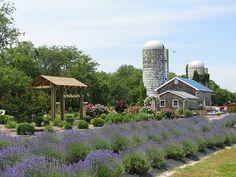 Lavender Fields in Milton, Delaware