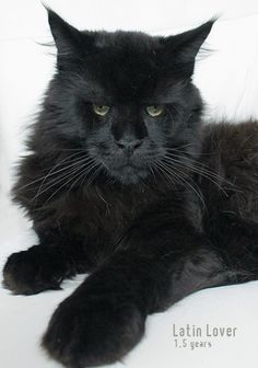 stunning Maine Coon http://www.mainecoonguide.com/