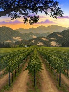 Sunset Light Over Vineyards In Fall Along The Silverado