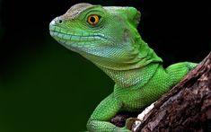 Basilisk lizard — with Allison Coulson and Florentino Urbiztondo. Iguana Verde, Wildlife Wallpaper, Hd Wallpaper, Reptiles, Lizards, Snakes, Animal Espiritual, Lizard Image, Green Iguana