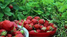 Egyszerű megcsinálni, és bármikor elővehetjük a fagyasztóból. Types Of Strawberries, Pound Cake With Strawberries, Old Farmers Almanac, Fine Gardening, Gardening Tips, First Day Of Summer, Classic Desserts, Tomato Garden, Summer Solstice