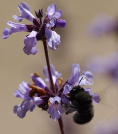 Photos of native plants in a California garden in May. Hundreds of pictures of native wild flowers in spring. California Flowers, California Native Plants, California Garden, Colorful Flowers, Blue Flowers, Santa Rosa Island, Sage Plant, Alpine Plants, Herbaceous Perennials