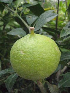 Citrus bergamia, the Bergamot orange is a fragrant fruit the size of an orange with a yellow colour similar to a lemon