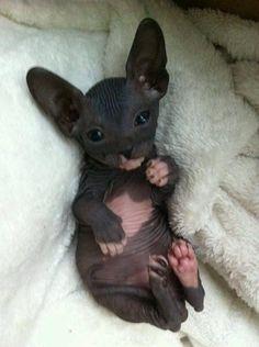little black and white Sphynx kitten with giant ears