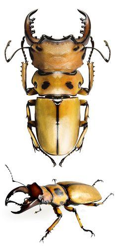 Homoderus mellyi