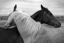 F084 Horse, black and white, pair, friendship, Animals Poster High quality picture Print Home Decoration Cloth Silk wall Art(China (Mainland))