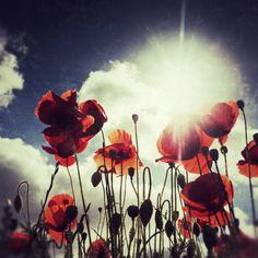 Poppies by Simon Wrigglesworth, via 500px