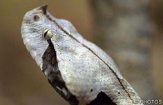 """Bitis gabonica (víbora-do-Gabão) Maior espécie de víbora, medindo até 1,80 metro de comprimento, 25 centímetros de diâmetro e pesando até 8,50 quilos; a cobra venenosa que possui as maiores presas, que podem medir até cinco centímetros de comprimento; e a que produz a maior quantidade de veneno. A coloração é marrom-avermelhada, com desenhos amarelos e azuis brilhantes. A cabeça é grande e triangular e apresenta um par de """"chifres"""" entre as narinas."""