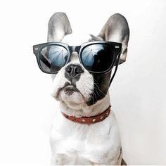 Bulldog francês de óculos escuros!