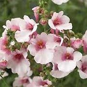 Diascia 'Flying Colours Appleblossom' A tender, trailing, mat-forming, semi-evergreen perennial, often grown as an annual, with ovate, light green leaves and, in summer and early autumn, short, wiry stems bearing loose racemes of pale pink flowers with darker pink centres.
