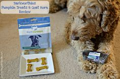 Spencer the Goldendoodle is reviewing two tasty products from @barkworthies,  Pumpkin Cannabidiol Treats and Large Goat Horn.