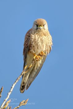 Kestrel by alodesani Kestrel, Birds Of Prey, Bird Feathers, Pet Birds, Mother Nature, Wander, Wildlife, Pets, Animals