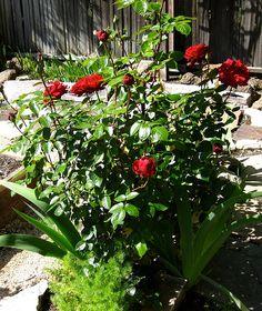 Ingrid Bergman Ingrid Bergman Rose, Red Roses, Garden, Plants, Image, Garten, Lawn And Garden, Gardens, Plant