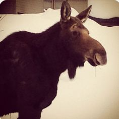 A moose walking around the house