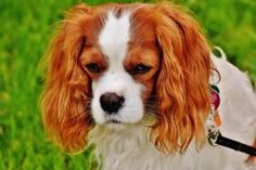 Free Image on Pixabay - Dog, Cavalier King Charles Spaniel Cute Dogs Breeds, Dog Breeds, Cavalier King Charles Spaniel, King Spaniel, Boy Dog Names, Dog Smells, Easiest Dogs To Train, Dog Care Tips, Pet Care