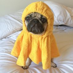 """Doug the Pug on Instagram: """"""""The 20 minutes after a shower where I just sit in my towel is the best part of my day"""" -Doug"""""""