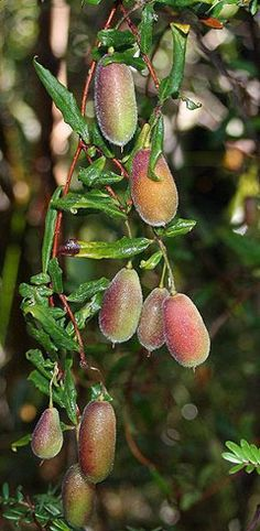 Common Appleberry (Billardiera scandens). Australian bush food.