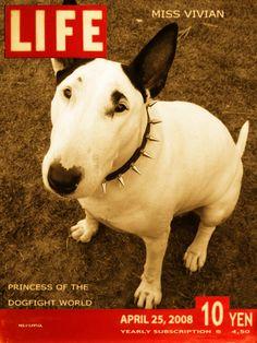 M:Bull terrier (vivian)