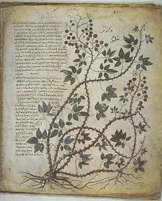 Plant study taken from Vienna Dioscurides. The Vienna Dioscurides or Vienna Dioscorides is an early century illuminated manuscript of De Materia Medica by Dioscorides in Greek. Ernst Haeckel, Botanical Drawings, Botanical Prints, Vintage Botanical Illustration, Botany Illustration, Vintage Illustrations, Vintage Prints, Illustration Botanique, Historia Natural