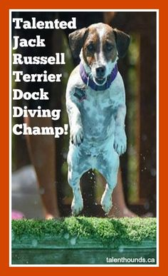 Talented Jack Russell Terrier Dock Diving Champion