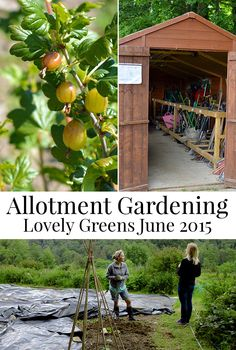 June gardening at the Allotment - keeping weeds down with fabric mulches, cleaning out the shed, and plans for my two plots #lovelygreens