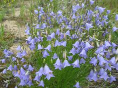 """Harebell, Campanula rotundifolia. Delicate perennial with slender stems, usually in clusters, growing 4""""-15"""" high. Stems can be weak so that the entire plant bends over. Blue-violet bell-shaped flowers hang singly or in clusters."""