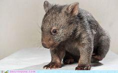 Bashful Wombat