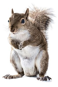 @Rebecca Schaefer A History of Squirrels in New York -- New York Magazine.