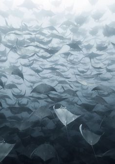 "50 Shades of Ray: A large school of mobula rays fades into the waters of Baja, Mexico. ""The rays were moving quite fast and it was hard enough keeping up with them from the surface, let alone diving down to take a closer look,"" writes photographer Eduardo Lopez Negrete. Mobula rays are often referred to as flying rays due to their fondness for breaching.  http://photography.nationalgeographic.com/photography/photo-of-the-day/mobula-rays-mexico-underwater/ #Photography #Rays"