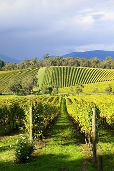 Killara Estate Vineyard, Yarra Valley, Melbourne, Australia