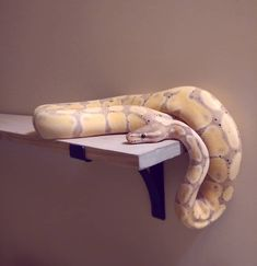 It's been awhile since I posted Monty. This was a few minutes after I extracted him from the shelf bracket. Almost had to take apart the shelf to get the bastard out.  #Monty #montypython #ballpython #royalpython #python #snake #snakesofinstagram #petsofinstagram #ilovemysnake #bananaballpython #cutie #beautiful #damnit