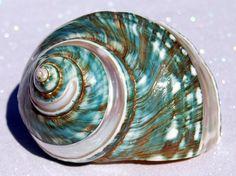 Green Turban Sea Shell