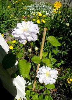 https://flic.kr/p/HqF2q5 | White double clematis - Wall Flower Studio | wallflowerstudio.wordpress.com