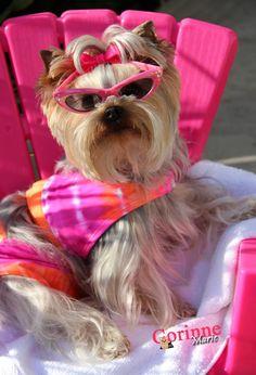"""I do nothing!"" #dogs #pets #YorkshireTerriers Facebook.com/sodoggonefunny"