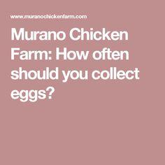 Murano Chicken Farm: How often should you collect eggs?