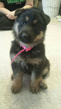 Our new German shepherd puppy! Arriving Christmas morning courtesy of Mr. S. Claus.