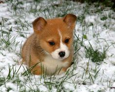 Cute little Corgi puppy