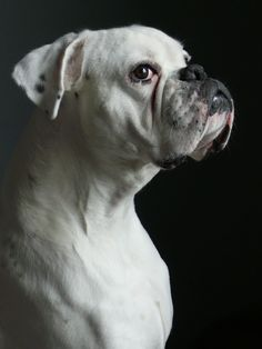 white boxer