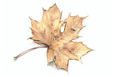 """MAPLE LEAF"" Drawing art prints and posters by Karin Russer - ARTFLAKES.COM"