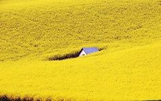 rapeseed flower carpet fields near Burgas in Bulgaria by the Bulgarian Black Sea Coast. and I thought the sunflower fields in Tuscany were an incredible site!! this is amazing